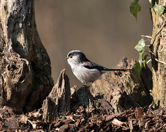 Long-tailed tit (hehaden) Tags: longtailedtit aegithaloscaudatus millerswood sussex