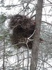 Large witches broom mutation (thepiper351) Tags: maine winter scenery snow ice forest timberland woods
