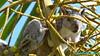 """""""Trapped"""" Squirrel in a Coconut bunch, El Salvador (Sebastiao P Nunes) Tags: sciuridaceae sciuruscarolinensis esquilo ardilla squirrel ecureil nunes snunes spnunes spereiranunes elsalvador panasonic lumixfzdmc60"""