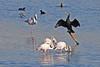 Playing to the Crowd? (Roy Lowry) Tags: cormorant greaterflamingo pintail ludo faro phoenicopterusroseus phalacrocoraxcarbo anasacuta