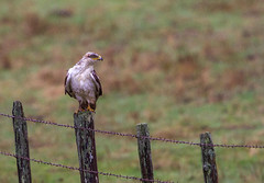 Rain Hunter (Omnitrigger) Tags: rain hawk ferruginous raptor grassland california nature wildlife
