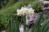 Ψίνθος (Psinthos.Net) Tags: ψίνθοσ psinthos nature countryside φύση εξοχή wildflowers wildflower flowers flower λουλούδια λουλούδι άνθη blossoms whiteblossoms λευκάάνθη άσπραάνθη κίτριναάνθη yellowblossoms narcissus νάρκισσοσ νάρκισσοσοκυπελλοφόροσ τσαμπάκι μυρσίτζια μυρσίτζι βράχοσ πέτρα stone rock greens χόρτα οξαλίδεσ sorrels ξυνιέσ ξυνάκια ξινάκια fasouli φασούλι fasuli γύρη pollen απόγευμα απόγευμαχειμώνα afternoon january ιανουάριοσ γενάρησ χειμωνιάτικοαπόγευμα χειμώνασ winter