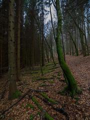 path of moss / Moos-Weg (karsten-the-coleoid) Tags: moss moos tree baum bäume wald natur vulkan vulkaneifel weitwinkel uww ww