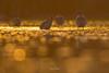 24 carat GOLD (Black tailed godwit) (Irtiza Bukhari) Tags: stare beak pondbird birdinpond birdofpakistan wildlifeofpakistan wildbird wildlife onebird pond lake goldenbird nature bokeh gold one bird godwit blacktailedgodwit pakistan wwf irtizabukhari bukhari irtiza