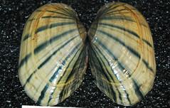 Lampsilis siliquoidea (fatmucket clam) (James St. John) Tags: lampsilis siliquoidea fatmucket clam clams bivalve bivalves shell shells freshwater