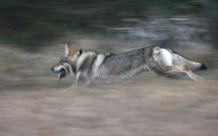 cane (fabio merelli) Tags: cane lupo