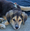 Look Into My Eyes (Scott 97006) Tags: pup puppy dog animal pet cute adorable observant watching eyes