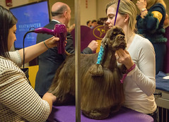 Striker the Cocker Spaniel in the staging area at the 2018 Westminster Kennel Club Dog Show. (apardavila) Tags: wkcdogshow madisonsquaregarden striker westminsterkennelclubdogshow cockerspaniel dog dogshow spaniel