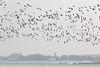 Ganzen (JaapWoets) Tags: agrarisch ganzen landschap weiland winter vogels