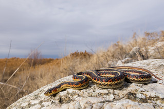 Valley Garter Snake-Thamnophis sirtalis fitchi