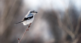 Northern Shrike scanning the field for prey