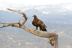 Golden Eagle Female (Chas Moonie-Wild Photography) Tags: golden eagle wild aquila raptor ngc chrysaetos