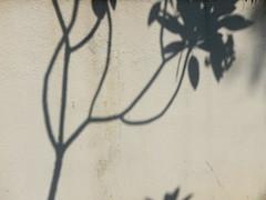 051/365: under the frangipane tree (Michiko.Fujii) Tags: shadows shadowsandlight shadowsonconcrete shadowsonwalls poetic poeticshadows visualpoetry trees sunlight shadowsoftrees frangipane warm warmphotographs