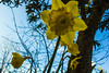 Yellow daffodils (eskstreetph) Tags: yellow blue green daffodils homesweethome bagnoaripoli tuscany italy flowers colours winter sunny canon eos550d nature amazing power bokeh tree sky stem leaves comp