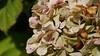 hortensia blanca (vitofonte) Tags: hortensia hydrangea flor flower flores flowers naturaleza nature natura natureza ribadeo galicia oscastros vitofonte ngc npc