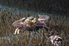 Porcelain Crab - Neopetrolisthes oshimai (prilfish) Tags: neopetrolisthesoshimai porzellankrebs porcelaincrab tulamben bali indonesia indonesien dive scuba karangasem diving tauchen underwater unterwasser