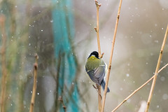 3rd March 2018 (Rob Sutherland) Tags: greattit bird garden uk songbird tit small parusmajor cumbria england cumbrian english britain british winter snow snowing back behind