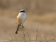 Long-tailed Shrike (Lanius schach) (gilgit2) Tags: avifauna birds canon canoneos7dmarkii category fauna feathers geotagged imranshah khushab location longtailedshrikelaniusschach pail pakistan punjab species tags tamron tamronsp150600mmf563divcusd wildlife wings gilgit2 laniusschach