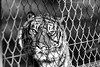 I'm a tiger get away from me (The Original Happy Snapper) Tags: tiger angry blackandwhite zoo captivity sad fence flickerfriday flickerfridau