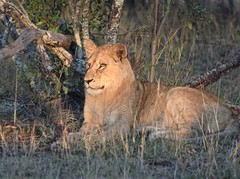Lady of the Light (The Spirit of the World) Tags: lion lioness feline cat wildlife nature ngala timbavati gamereserve gamedrive savanna tree light bush grass grasses magical regal southafrica africa
