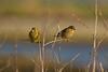 pair of greenfinches (jon lees) Tags: bird foreshore beach coastal countydown coast northernireland portaferry