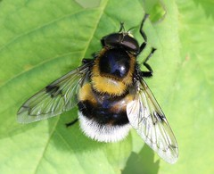 Volucella bombylans (Syrphidae) (Renko Usami) Tags: syrphidae insecta arthropoda diptera eristalinae volucella bombylans hoverfly