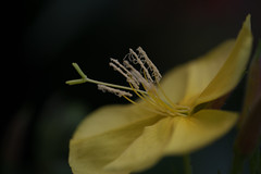 jdy180XX20160628a5283.jpg (rachelgreenbelt) Tags: ghigreenbelthomesinc oenotheraall usa eudicots greenbelt northamerica midatlanticregion ouryard rosids ordermyrtales subfamilyonagreae familyonagraceae maryland americas oenothera magnoliophyta eveningprimrose floweringplants myrtales myrtalesorder onagraceae onagraceaefamily onagreae onagreaesubfamily spermatophytes suncup sundrop