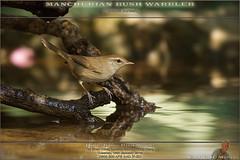 20180116-_5006608-WARBLER-ManchurianBush-1458 (guy.miller) Tags: bird lamma hk hong kong guy miller