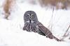 Digging it (jrlarson67) Tags: great gray grey owl saxzim mn raptor strix nebulosa