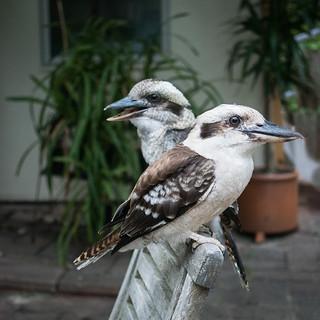 Tame kookaburras