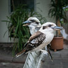 Tame kookaburras (Marian Pollock) Tags: australia melbourne victoria tame birds kookaburra pair