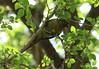 Chiripepé Cabeza Verde, Maroon bellied Parakeet (Pyrrhura frontalis) (7sombreros) Tags: cotorra avesargentinas chiripepé birds nature