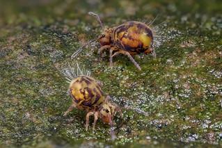 Zwei Dicyrtomina ornata (Kugelspringer) Collembola