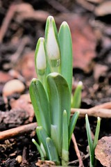 Snowdrop (Galanthus nivalis) (sdonaldson84) Tags: flower snowdrop nature natgeo buds rhs horticulture ngc