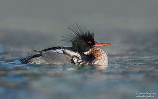 Red-breasted merganser (Male)