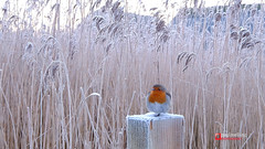 A cold Robin (Paul Melling Photography) Tags: winter ukbirds frost icy cool woodenpost preston cold grasses seasons frosty frozen wildlife fencepost treeds lancashire bird outdoors sat ice countrside morning brockholesnaturereserve robin
