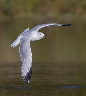 Ring-billed Gull in-flight