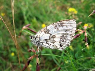 Butterfly 1604