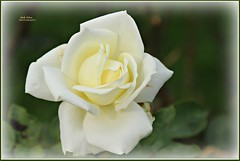 a love that is pure... (MEA Images) Tags: roses rosegarden gardens blooms flora nature parks pointdefiancepark tacoma washington canon picmonkey