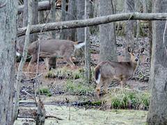 180217 Deer 5 (reneedobbs) Tags: deer wildlife nature swamp