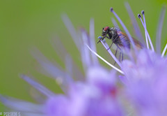 Love is... (PershinS) Tags: 7dwf macro summer flower diptera love green purple contact
