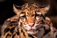 Clouded Leopard 3-0 F LR 2-20-18 J089 (sunspotimages) Tags: leopards leopard cloudedleopard cloudedleopards nature zoo zoosofnorthamerica zoos nationalzoo animal animals cat cats bigcats