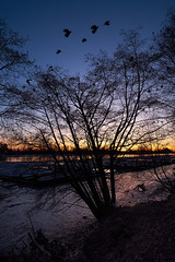 Feb-2018__XT24992 (labrossephotography) Tags: sunset goldenhour fraserriver vancouverbc crows birds trees landscape shore lowtide logbooms