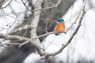Jäälind, Alcedo atthis, Common Kingfisher