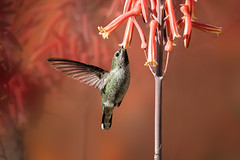Aloe Love! (Patricia Ware) Tags: annashummingbird arcadia birdsinflight california calypteanna canon ef400mmf4doisiiusmlens handheld httppwarezenfoliocom ©2018patriciawareallrightsreserved specanimal sunrays5