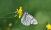 Black-veined White - Aporia crataegi (jaytee27) Tags: blackveinedwhite aporiacrataegi bulgaria naturethroughthelens