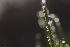 Tubular Bells (eMMa_bOOm) Tags: grass bladeofgrass water droplets tiny drops reflection reflecting natural nature colours coloured light daylight sunlight bokeh