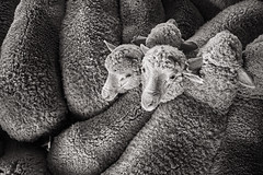 Double head (Petra Ries Images) Tags: merino sheep schafe wool woolshed wolle schafwolle tier animal farmanimal livestock blackandwhite schwarzweis doppelt double fromabove vonoben