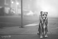 3/52 - fog in the city (yookyland) Tags: 52weeksfordogs 2018 misty 352 dog fog city street morning light