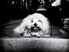 Wistful Dog (Feldore) Tags: newyork cute white window shop wistful looking chinatown hairdesser sad feldore mchugh em1 olympus 17mm 18